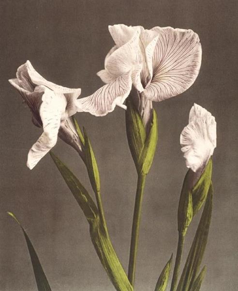 Karnet 17x14cm z kopertą Iris Kaempferi